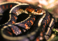 Garter Snake Stock Photography