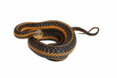 Garter snake rolling. Royalty Free Stock Photo