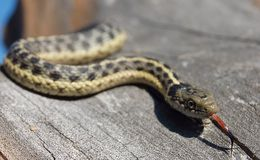 Garter snake smelling Stock Photos