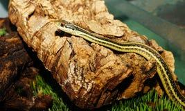 Garter Snake on Stone Stock Photos