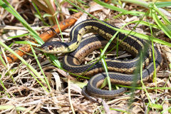 Garter Snake (Thamnophis sirtalis). Basking in Illinois Stock Photo