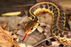 Garter Snake (Thamnophis sirtalis) royalty free stock photography
