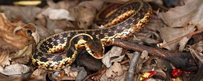 Garter Snake (Thamnophis sirtalis) Stock Photography