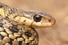 Garter Snake (Thamnophis sirtalis) Royalty Free Stock Images