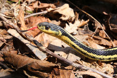 Garter Snake Tongue. A garter snakes flicks out its tongue while posing on a ground of leaves stock images