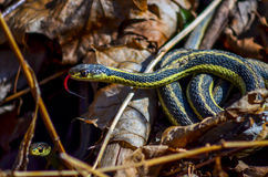 Garter Snake - Tounge Out Royalty Free Stock Photo