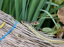 Garter snakes and broom Royalty Free Stock Images