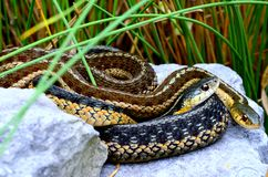 Garter Snakes. Curled up together on rocks Royalty Free Stock Images