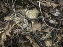 Garter Snakes Royalty Free Stock Photos
