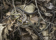 Garter Snakes Royalty Free Stock Photo