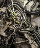 Garter Snakes Royalty Free Stock Images