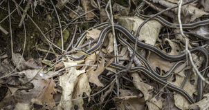 Garter Snakes. A nest of young garter snakes on the forest floor Royalty Free Stock Photos