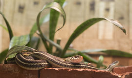 Garter Snakes Stock Images