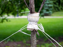 Garter a young tree with twine to protect against uprooting.  Stock Image