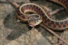 gartersnake сварливое Стоковое Изображение RF
