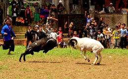 Garut Sheep Fighting (Adu Domba). A pair of Sheep hitting each other. This is a part of Garut Sheep Fight event. Garut Sheep Fight is a traditional sport of the royalty free stock image