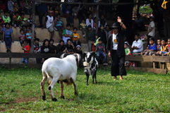 Garut Sheep Fighting Competition, West Java, Indonesia Royalty Free Stock Photos