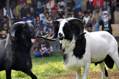 Garut Sheep Fighting Competition, West Java, Indonesia Stock Photos