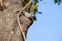 Gary ekorre som klamra sig fast intill ett träd arkivbilder