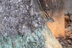 Gary ekorre som klamra sig fast intill ett träd arkivbild