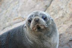 Gary futerkowa nowej Zelandii pieczęć Zdjęcia Stock
