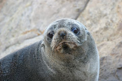 Gary the New Zealand Fur Seal. Fur Seal photographed at Shag Point, New Zealand stock photos