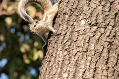 Gary squirrel clinging to a tree royalty free stock images