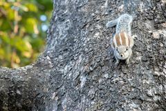 Gary squirrel clinging to a tree stock images