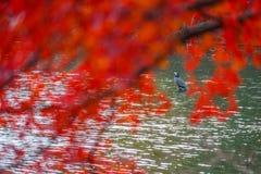 Garza acurrucada en la charca de Inokashira foto de archivo libre de regalías