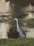 Garza Ardeidae waiting to hunt in river Duero. Ardeidae on the ground waiting to hunt in the river and grass Stock Photo