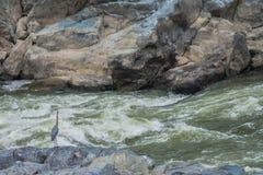 Garza azul de las caídas Fotografía de archivo