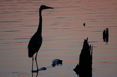 Garza azul en la puesta del sol Fotografía de archivo libre de regalías