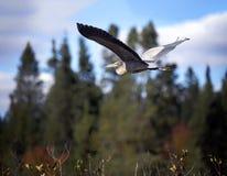 Garza azul en vuelo Foto de archivo