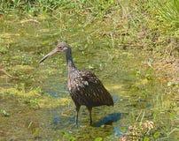 Garza azul joven de HDR que vadea en un pantano Fotos de archivo