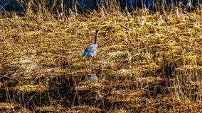 Garza azul que camina en las cañas del pantano de Pitt-Addington en la ciudad del arce Ridge en Fraser Valley de la Columbia Brit Imagenes de archivo