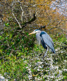 Garza azul que se sienta en árboles florecientes del chery Imagen de archivo