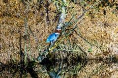 Garza azul que se sienta en una rama de árbol en el río de Alouette en Pitt Polder en la ciudad del arce Ridge en Fraser Valley d Foto de archivo