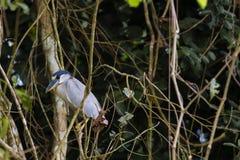 Garza Barco-cargada en cuenta adulto que se encarama entre vides de la selva Fotografía de archivo libre de regalías