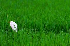 Garza blanca Foto de archivo