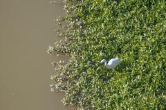 Garza blanca en Arno River Imagen de archivo