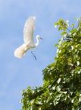 Garza blanca en la acción del vuelo Fotografía de archivo libre de regalías