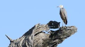 garza Blanco-hecha frente, novaehollandiae del Egretta, en árbol de goma muerto almacen de video