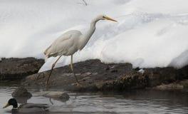 Garza con nieve en el hábitat de la naturaleza Envergadura de la garza de la Blanco-cara imágenes de archivo libres de regalías