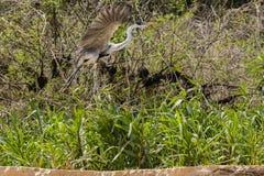 Garza de Cocoi en vuelo a lo largo del Riverbank imagen de archivo