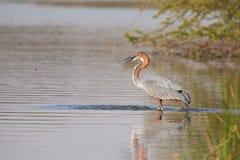 Garza de Goliat que camina en el agua que busca pescados a la captura Imágenes de archivo libres de regalías