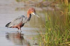 Garza de Goliat que camina en el agua que busca pescados a la captura Imagen de archivo