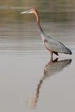 Garza de Goliat que camina en el agua que busca pescados a la captura Foto de archivo libre de regalías