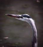 Garza de gran azul en el lago y Iris Gardens swan Imagenes de archivo