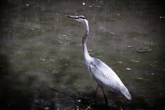 Garza de gran azul en el lago y Iris Gardens swan Fotos de archivo