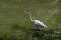 Garza de gran azul en el lago y Iris Gardens swan Imagen de archivo libre de regalías